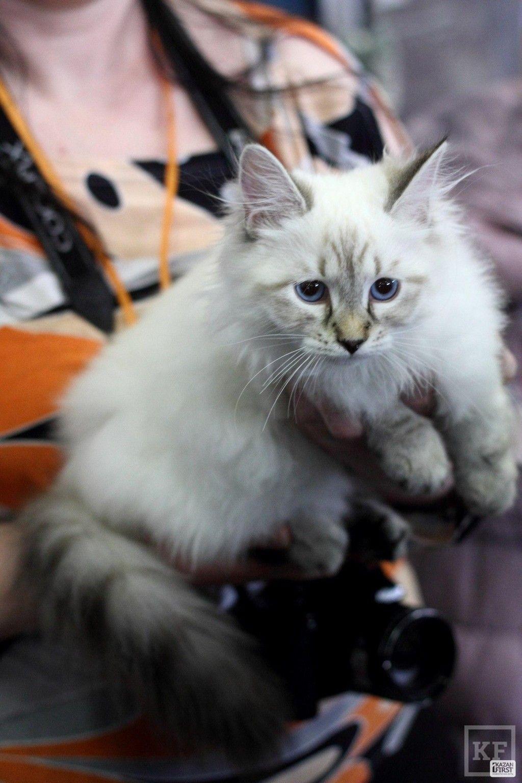 Международная выставка кошек «Синеглазый апрель»