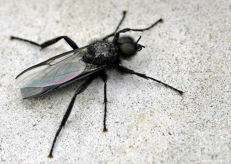 Энтомологи: Казань заполонили комары-толстоножки