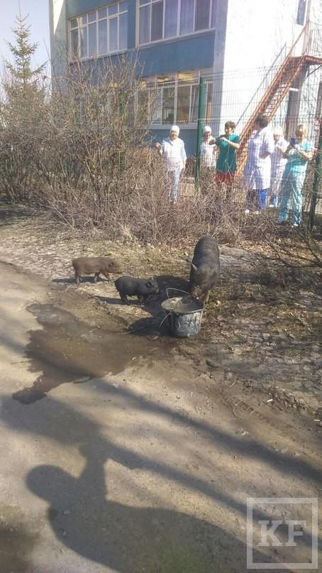 По улицам Набережных Челнов гуляют свиньи — очевидцы