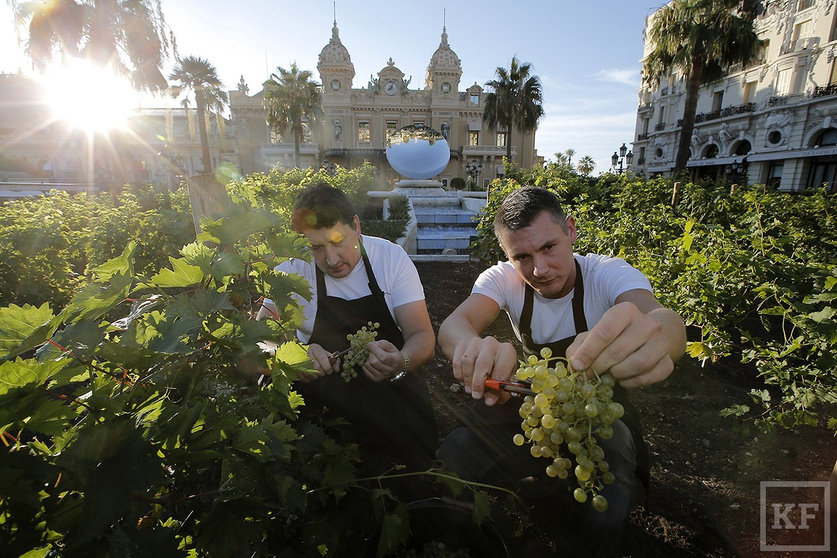 Monaco Grape Harvest