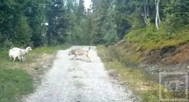 Овца напугала волка [фото, видео]