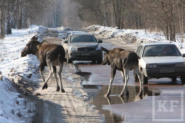 В Казань стали все чаще заходить лесные животные. Проблемы у зверей начинаются, когда люди вызываются им помогать