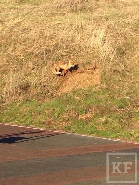 В Челнах оголодавшие лисы и их детеныши вышли к людям