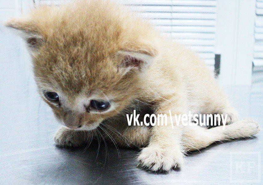 В Казани родился шестилапый котенок