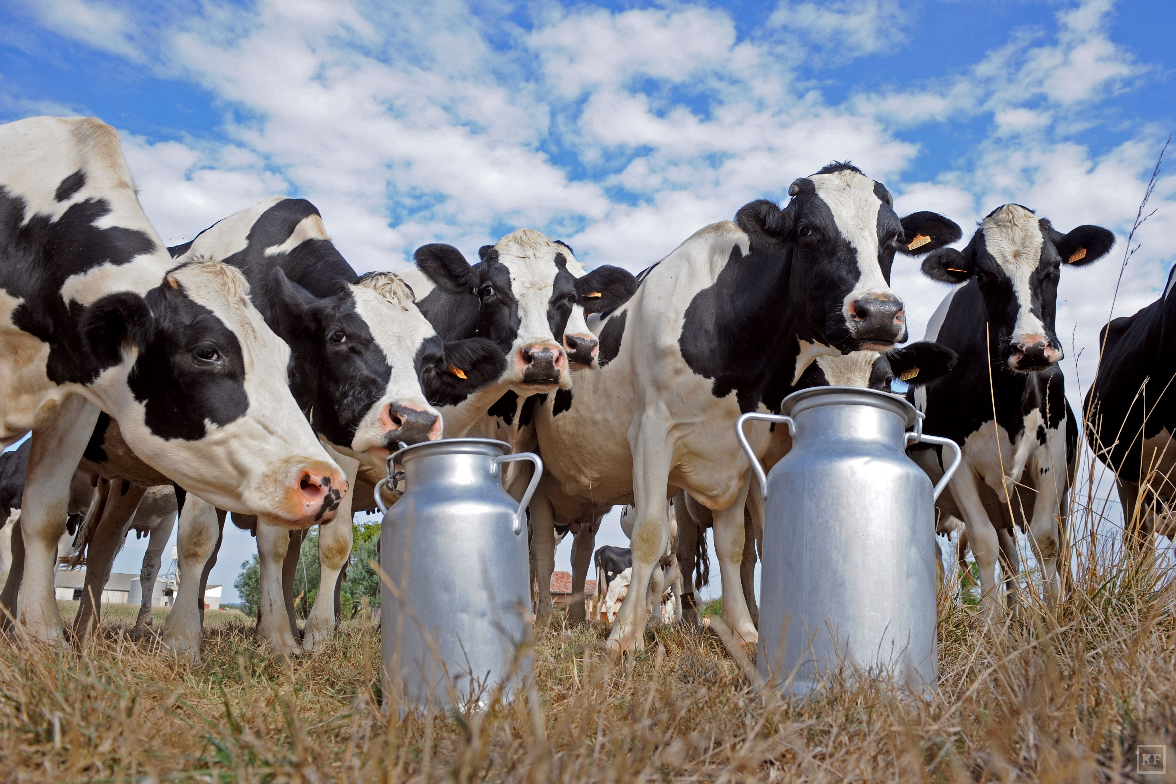 TO GO WITH AFP STORY BY MARIETTE LE ROUX (FILES)-- A file photo taken on September 15, 2009 shows Prim'Holstein cows standing by milk churns in the field of a dairy farm in Sainte-Colombe-en-Bruilhois, southwestern France. Drink lots of milk to strengthen your bones and boost your health, doctors say. But a study in The BMJ medical journal Wednesday said Swedes with a high intake of cow's milk died younger -- and women suffered more fractures. The findings may warrant questions about recommendations for milk consumption, although further research is needed, its authors said, as the association may be purely coincidental. AFP PHOTO / JEAN-PIERRE MULLERJEAN-PIERRE MULLER/AFP/Getty Images ORG XMIT: - ORIG FILE ID: 534905279