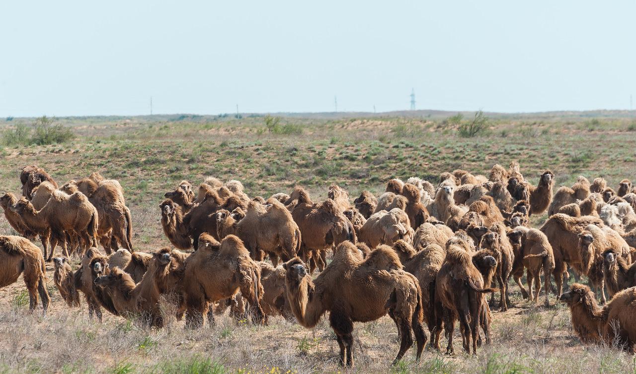 Стадо верблюдов вАстраханской области растоптало легковую машину