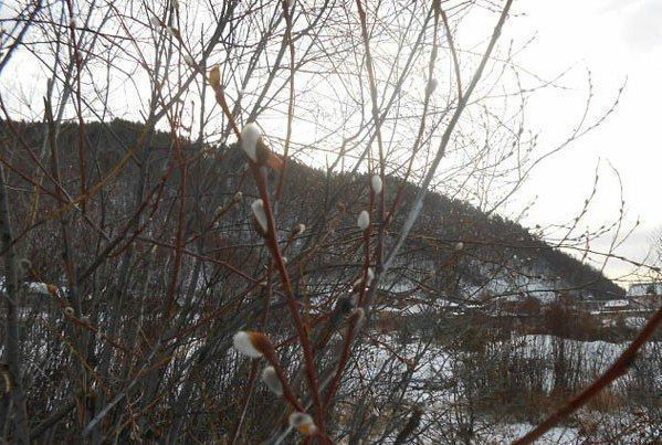 В Татарстане среди зимы расцвела верба