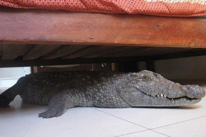 В одной из гостиниц под кроватью обнаружили живого крокодила