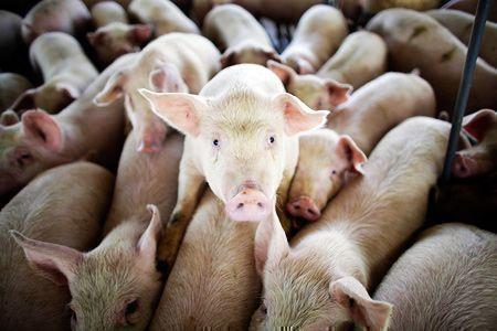 В Чистополе сокращают количество поголовья свиней из-за африканской чумы животных