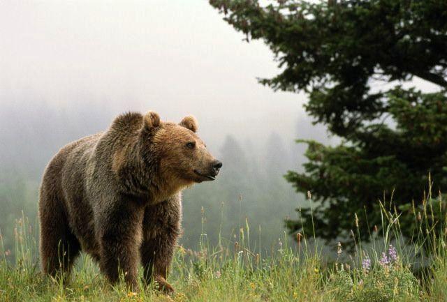 Жители Татарстана стали чаще видеть в лесах бурых медведей