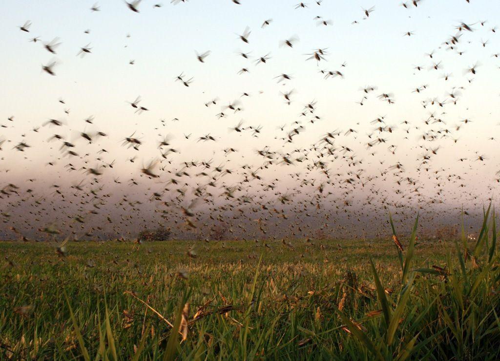 Из-за саранчи в Астраханской области введен режим чрезвычайной ситуации