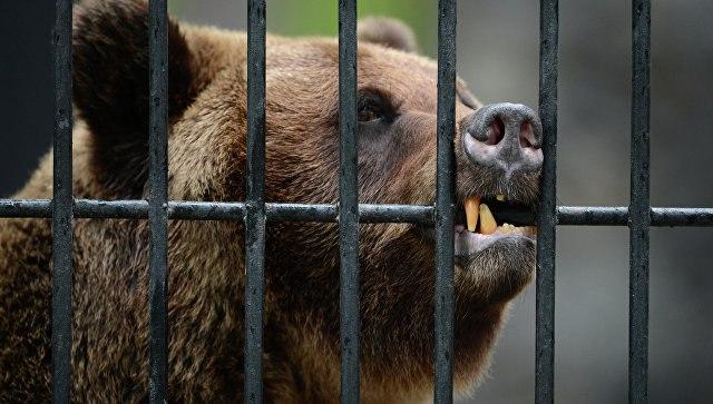 Медведица откопала снаряд 2-ой мировой войны ичуть его несъела