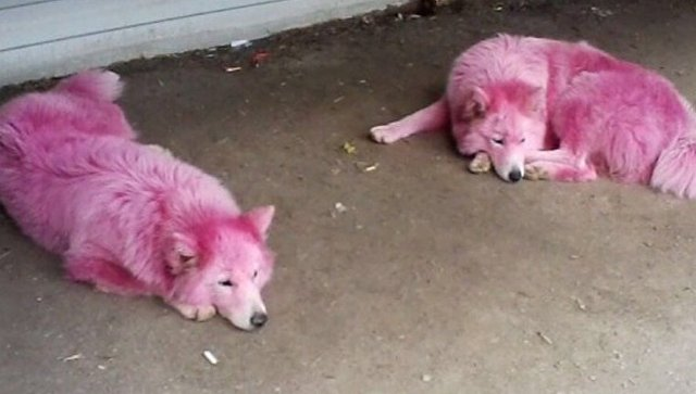 Розовых собак изГеленджика забрали впитомник МинобороныРФ